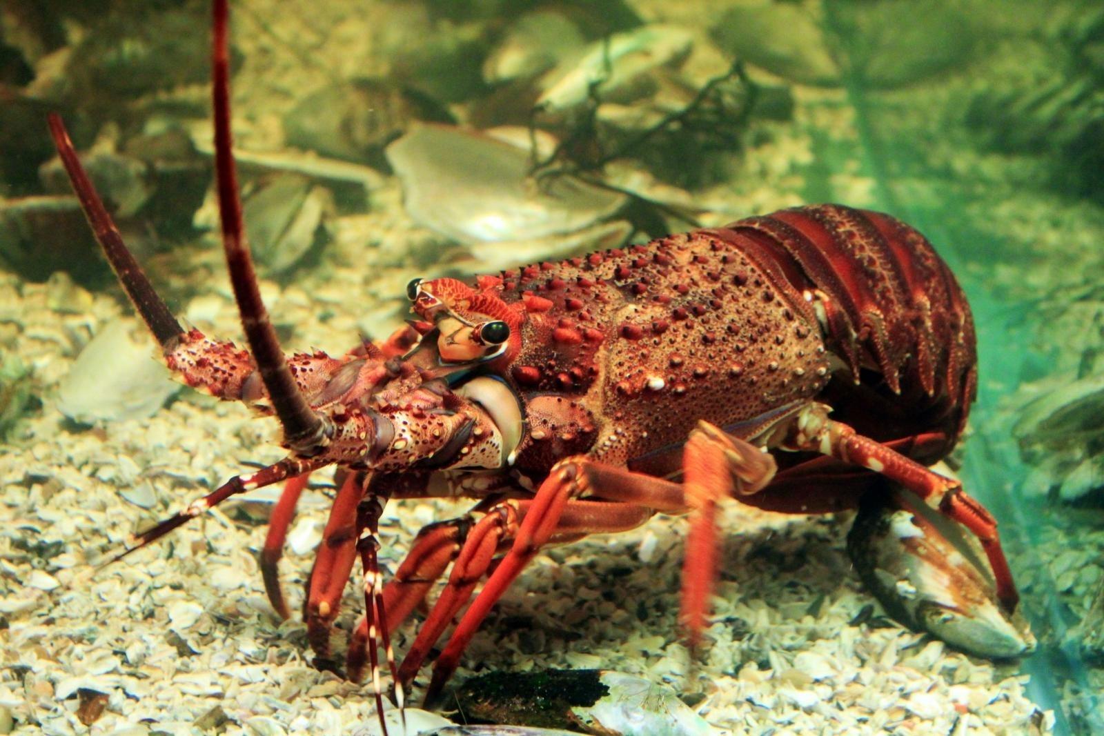 clifton-rock-crayfish