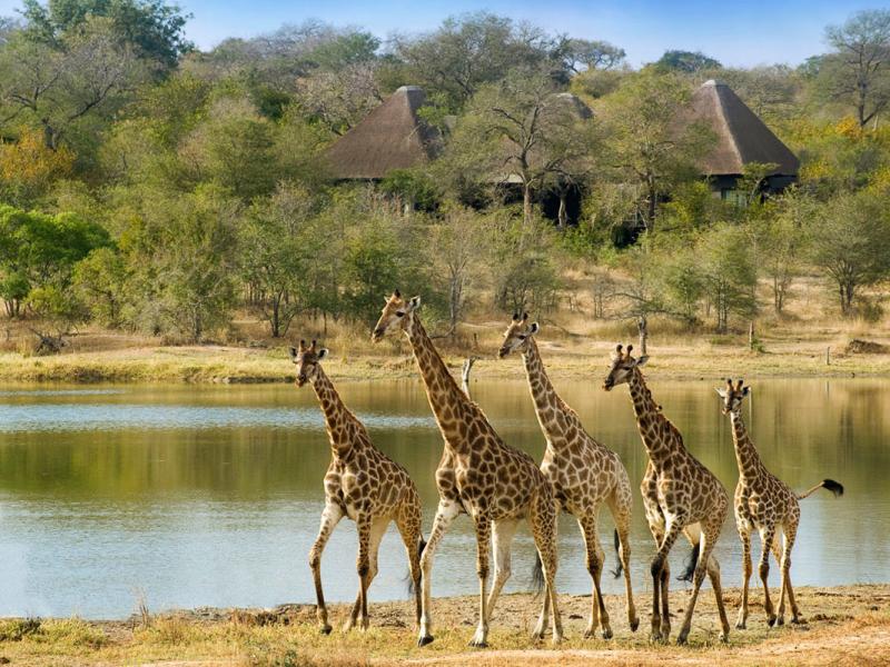 giraffes zuid afrika