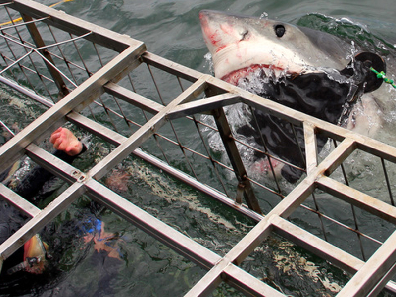 haaien spotten in zuid afrika great white shark