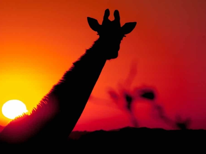 hluhluwe zuid afrika zonsondergang giraf