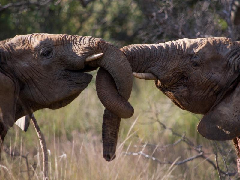 safari in zuid afrika olifanten knuffelen