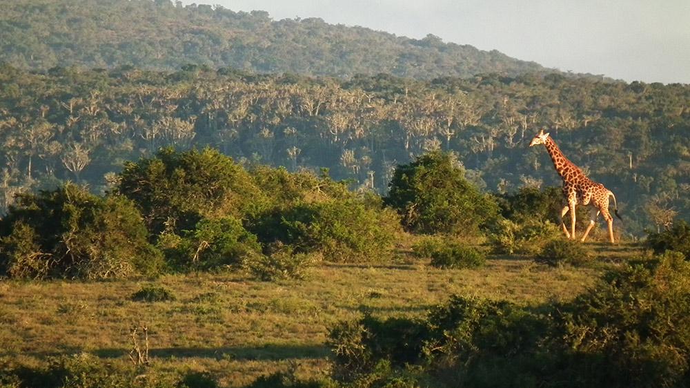 kwandwe-giraffe-in-the-north-