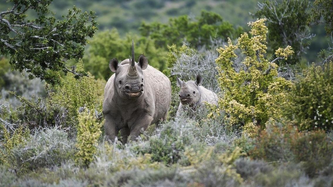 kwandwe_black_rhino__calf_