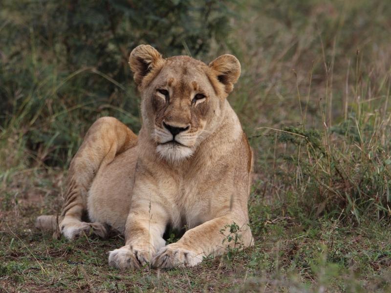 leeuwin-tijdens-safari-zuid-afrika
