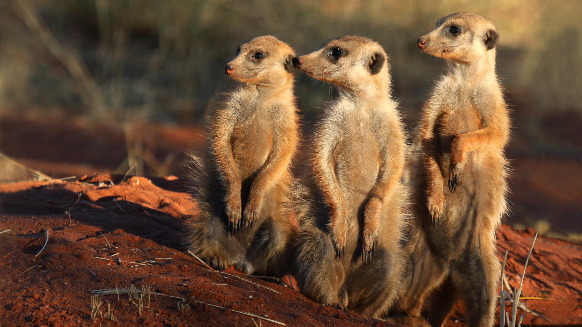 meerkatten-spotten-in-zuid-afrika
