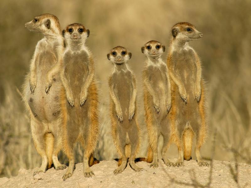 meerkatten-spotten-zuid-afrika