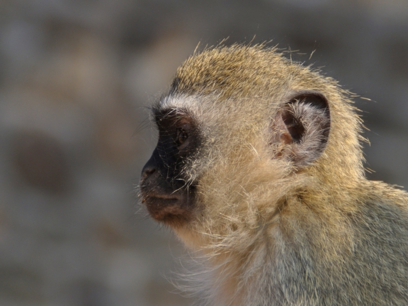 meerkatten-spotten-zuid-afrika-groen-stokstaartje