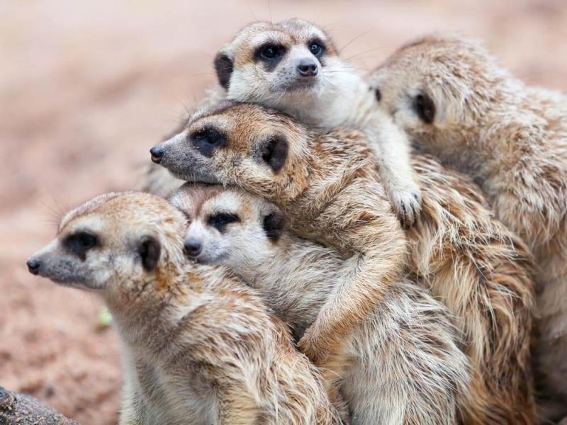 meerkatten-spotten-zuid-afrika-group-hug