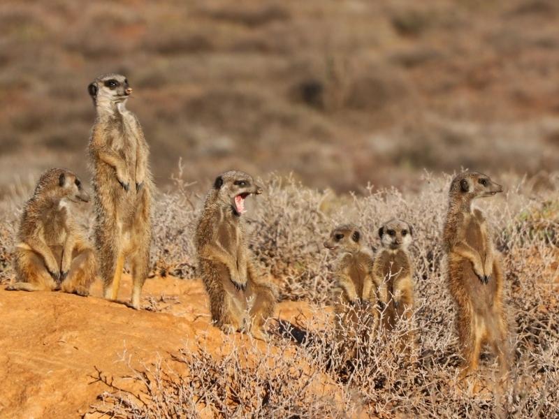 meerkatten-spotten-zuid-afrika-oudtshoorn