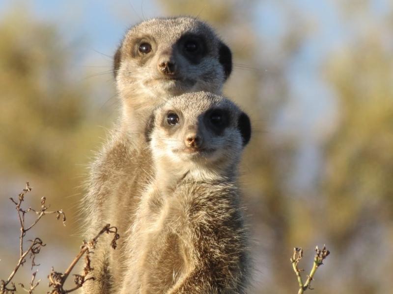 meerkatten-spotten-zuid-afrika-paar