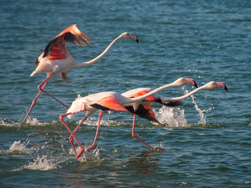 mozambique-flamingos-birding