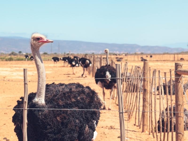 ostrich-farm-oudtshoorn-garden-route-south-africa