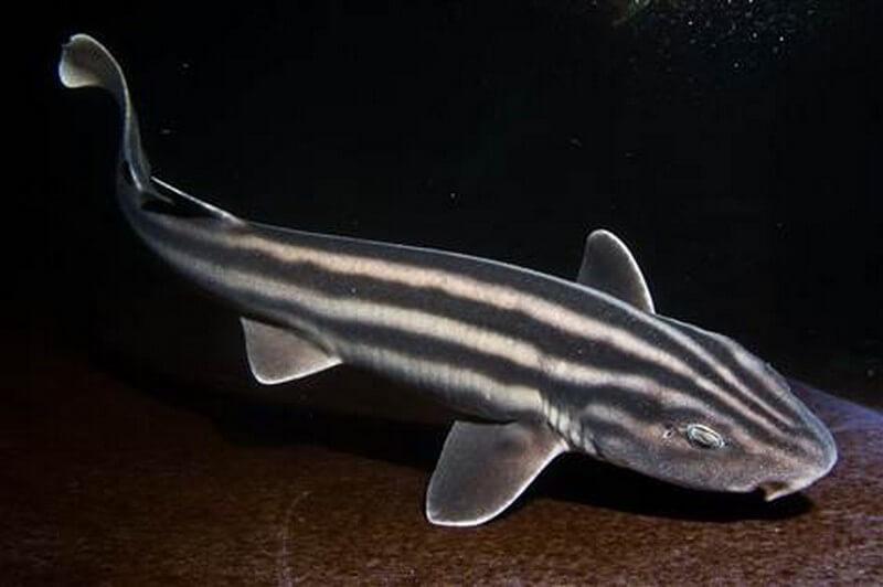 pyama-shark-simonstown