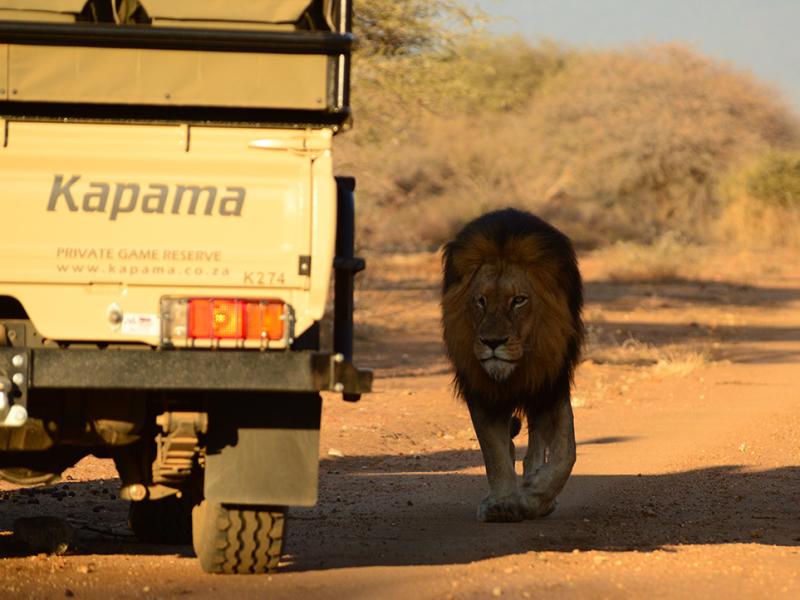 kapama zuid afrika safari lion