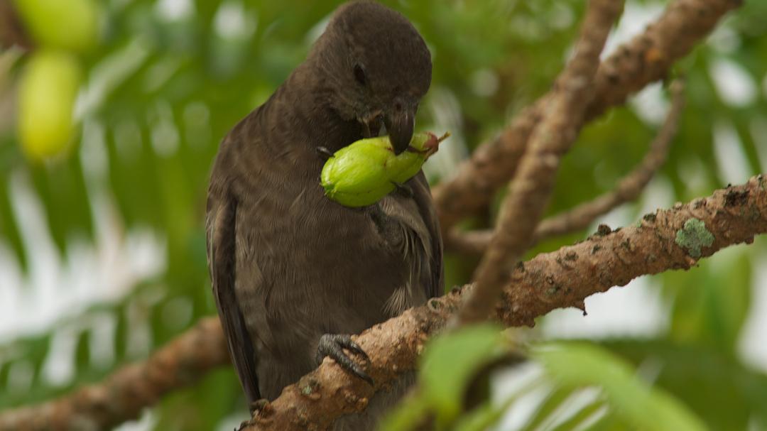 seychellen-vogels-black-parrot-met-vrucht