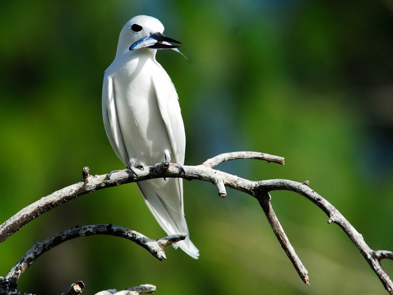 seychellen-vogels-fairy-tern-met-visje