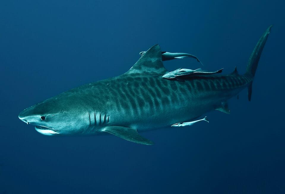 sodwana-bay-tiger-fish
