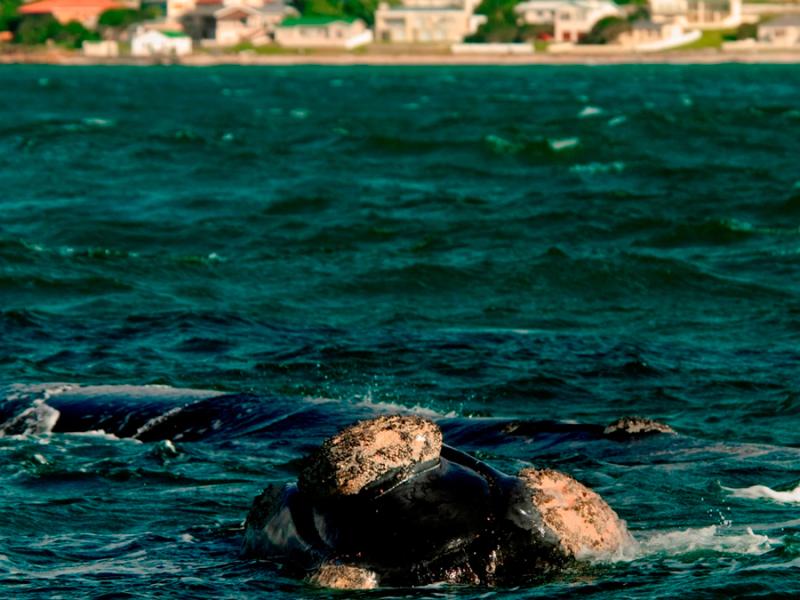 southern-right-walvissen-bij-de-kelders