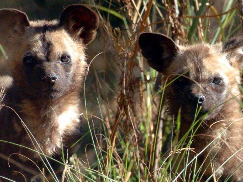 timbavati zuid afrika safari
