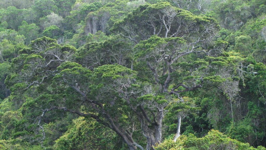 tsitsikamma-nationalpark-outeniqua-yellowwood