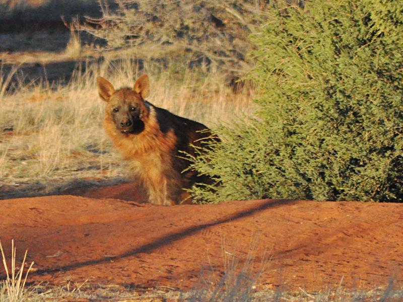 tswalu-kalahari-private-game-reserve-safari-lodge-motse-tarkuni-baby-hyena