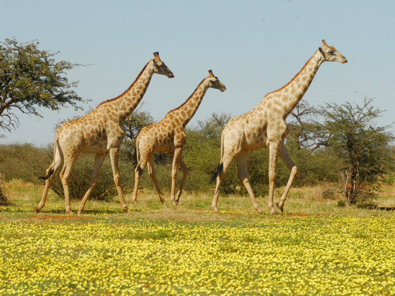 tswalu-kalahari-private-game-reserve-safari-lodge-motse-tarkuni-giraffe