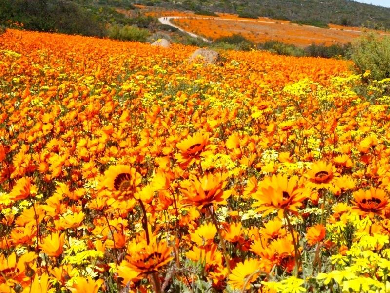 wilde bloemen namaqualand in zuid afrika