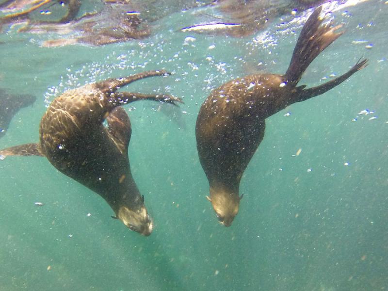 snorkelen met zeehonden in zuid afrika hout bay