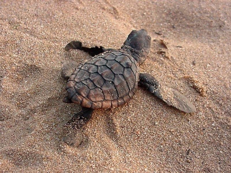 zeeschildpadden tracking in zuid afrika baby turtle