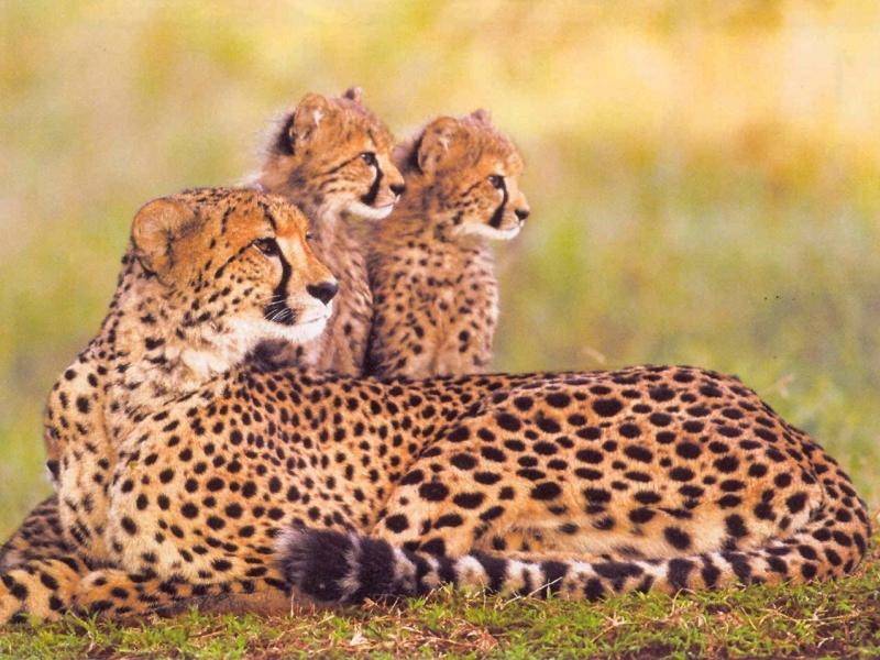 moeder-cheetah-met-jonkies-tijdesn-uw-safari-in-zuid-afrika