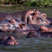 iSimangaliso Wetland Park Zuid-Afrika Nijlpaarden