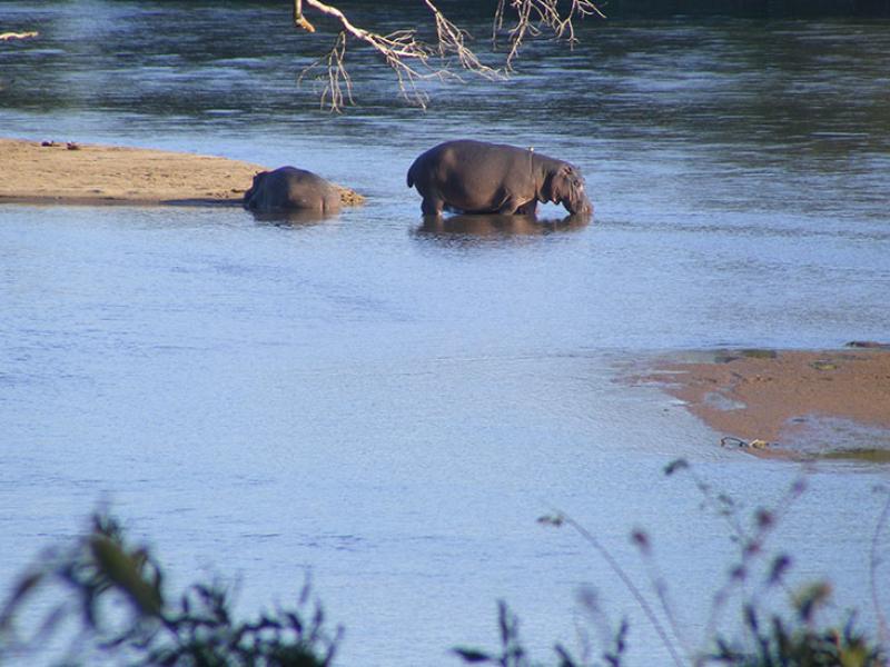 klaseire-game-reserve-zuid-afrika-safari-nijlpaarden