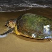 iSimangaliso Wetland Park Zuid-Afrika Zeeschildpadden