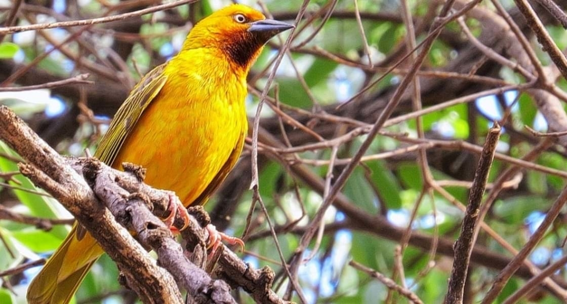 Vogels spotten Zuid-Afrika KAAPSE WEVER