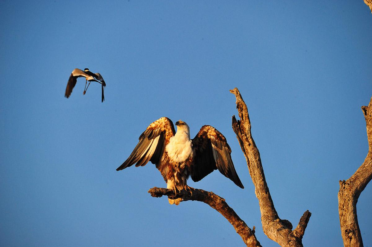 vogels-spotten-zuid-afrika-krugerpark-fish-eagle-and-blacksmith-plover