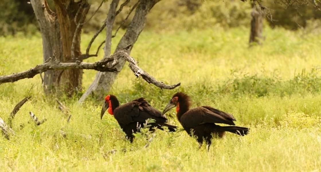 Vogels spotten Zuid-Afrika ZUIDELIJKE HOORNRAAF