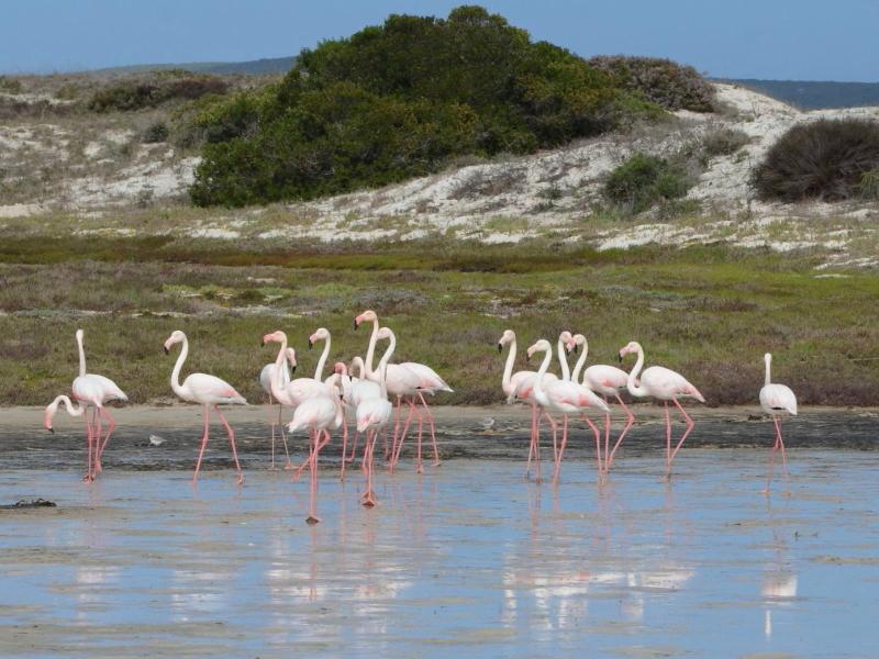 West Coast National Park Zuid-Afrika Flamingos
