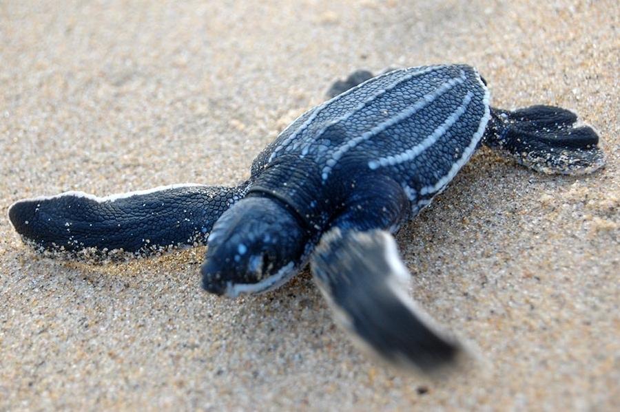Zeeschildpadden Zuid-Afrika Tracking & Moitoring - Leatherback Schildpad
