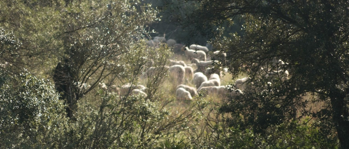 The sheep are in the vineyard!