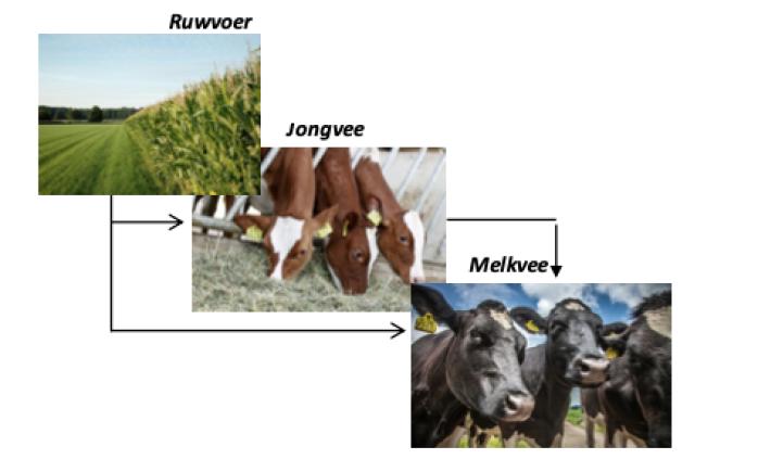 processen melkvee