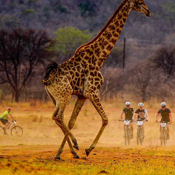 Fietsers en giraffes 600x600