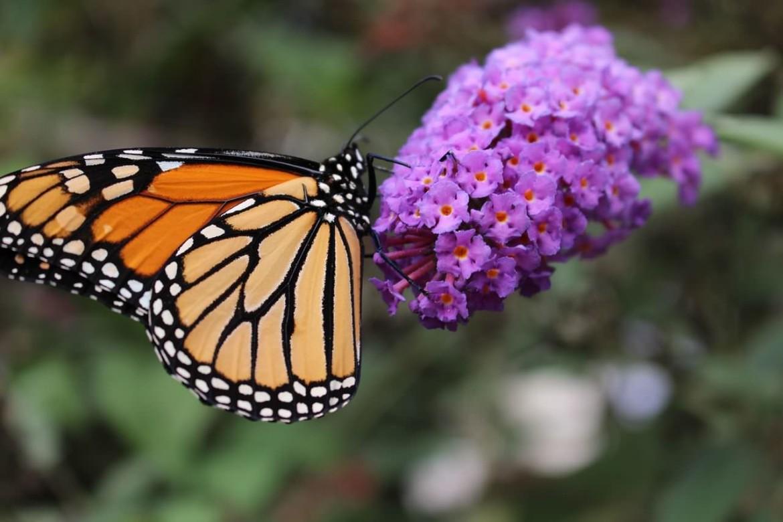 Vlinder | Diervriendelijke tuin