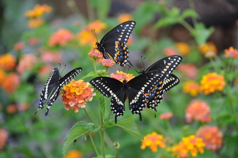 Vlinders | Diervriendelijke tuin