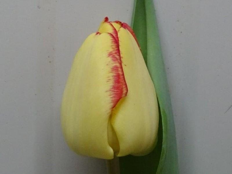 tulipa cape town
