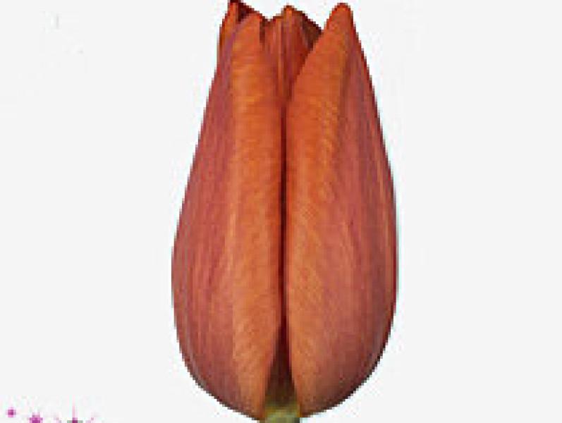 tulipa charade