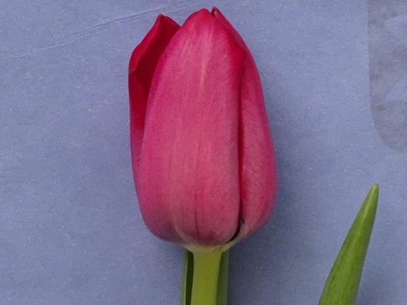 tulipa pink ribbon