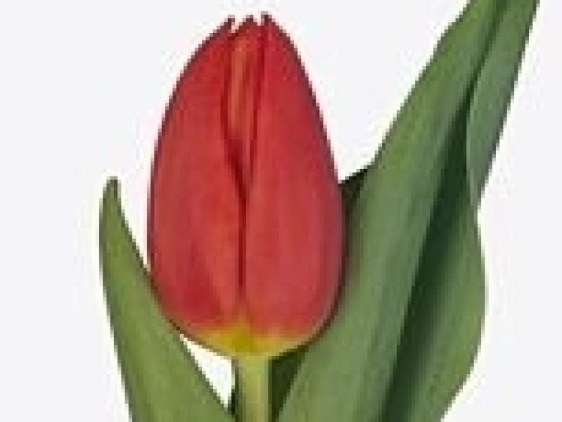 tulipa rodeo drive