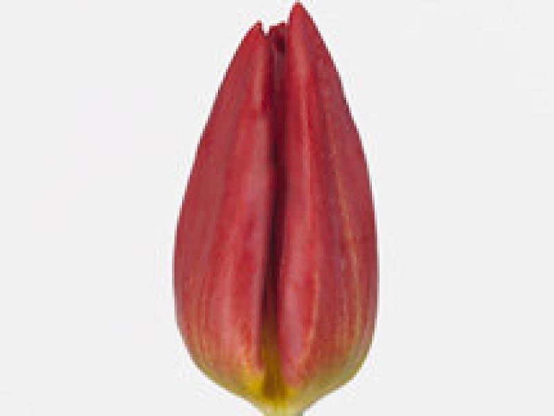 tulipa strong fire