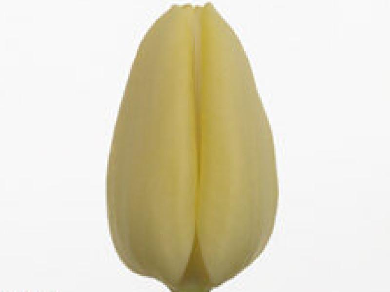 tulipa tiliro