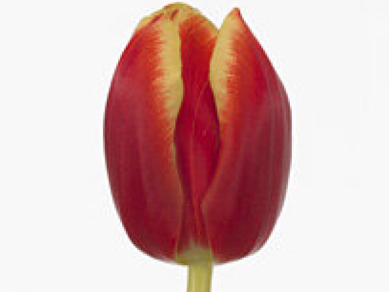 tulipa ungaro